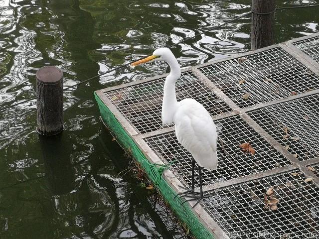 洗足池の白鷲