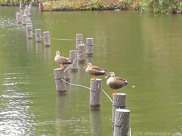 洗足池の仲良しな3羽のカルガモ
